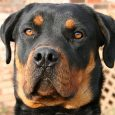 bark collar for rottweiler